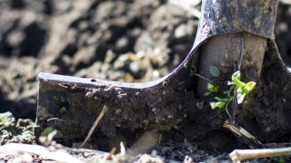 shovel in garden soil with green buds sprouting